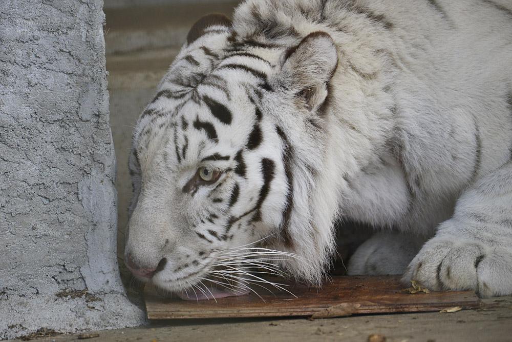 2019.12.21 東北サファリパーク☆ホワイトタイガーのマリンくん【White tiger】_f0250322_22203351.jpg