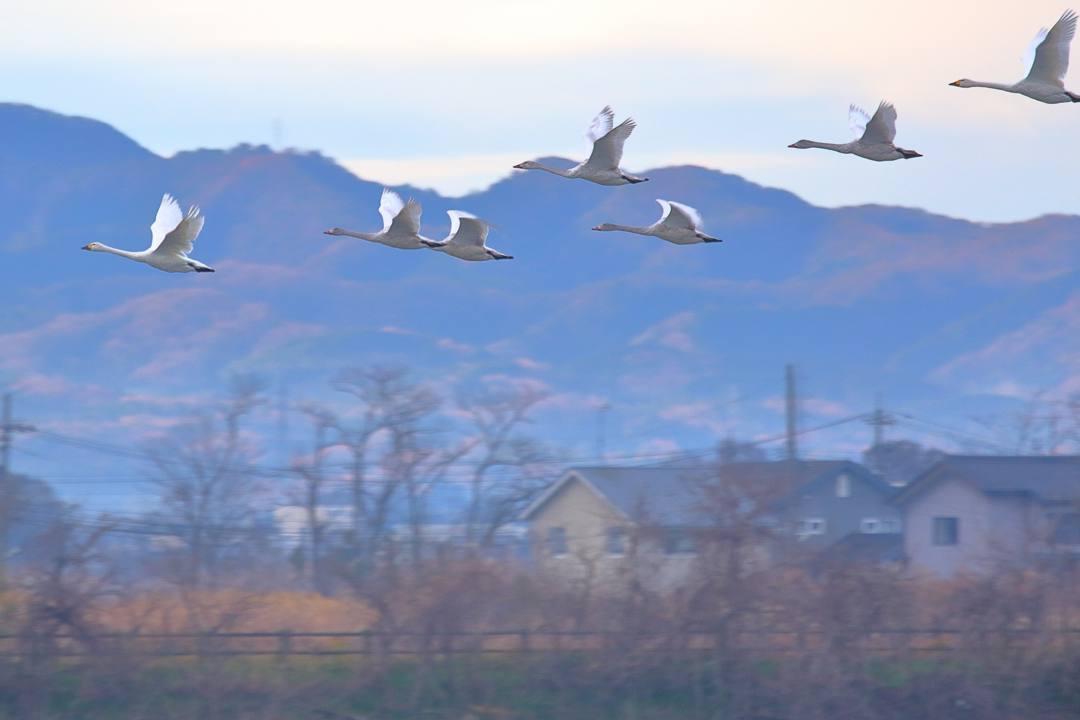 柴山潟の白鳥12/16その4 / ♪スリーディグリーズ「天使のささやき」_e0403850_16233721.jpg