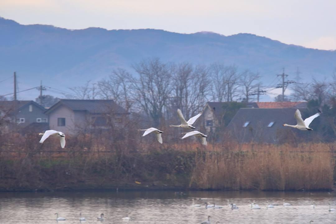 柴山潟の白鳥12/16その4 / ♪スリーディグリーズ「天使のささやき」_e0403850_16240961.jpg