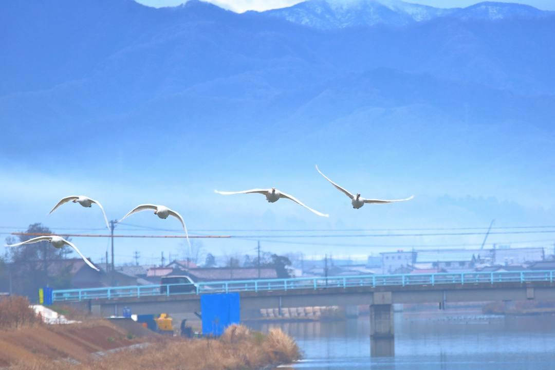 柴山潟の白鳥12/16その4 / ♪スリーディグリーズ「天使のささやき」_e0403850_17553065.jpg