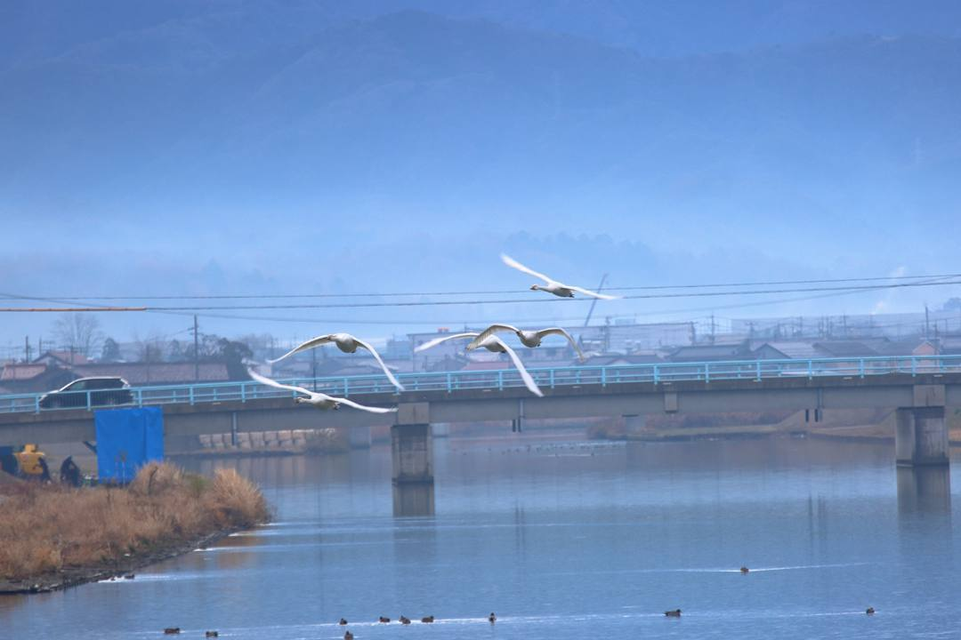 柴山潟の白鳥12/16その4 / ♪スリーディグリーズ「天使のささやき」_e0403850_17553083.jpg