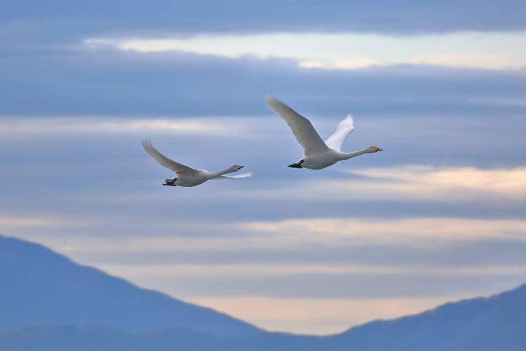 柴山潟の白鳥12/16その4 / ♪スリーディグリーズ「天使のささやき」_e0403850_17554100.jpg
