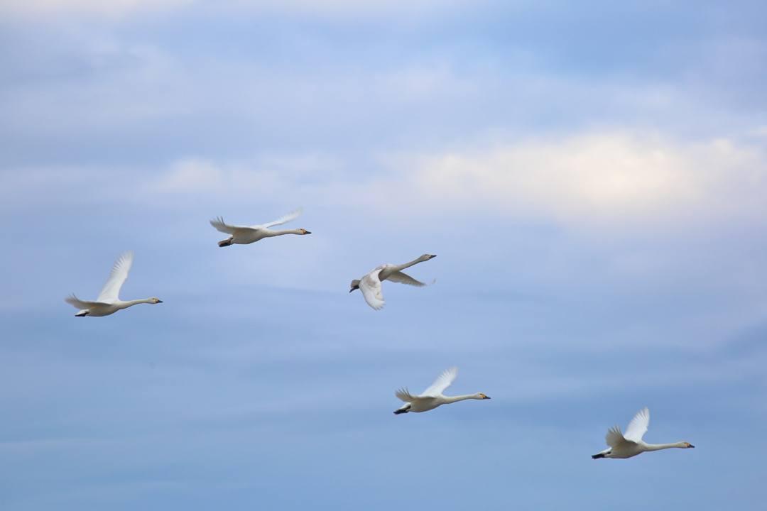 柴山潟の白鳥12/16その4 / ♪スリーディグリーズ「天使のささやき」_e0403850_17554128.jpg