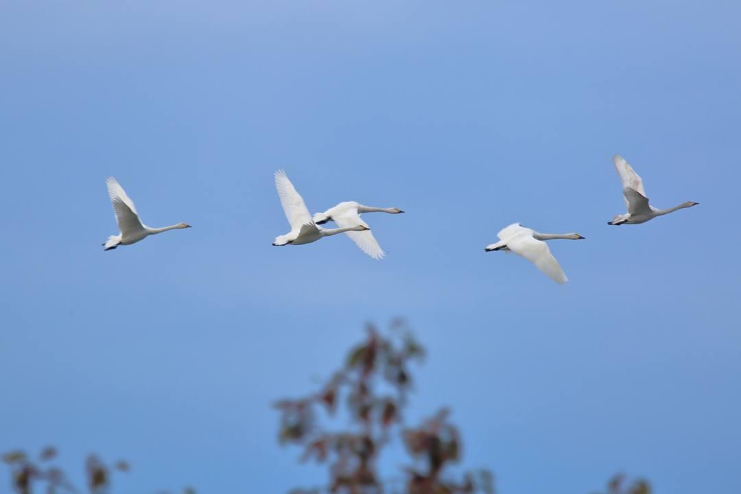 柴山潟の白鳥12/16その4 / ♪スリーディグリーズ「天使のささやき」_e0403850_17554138.jpg