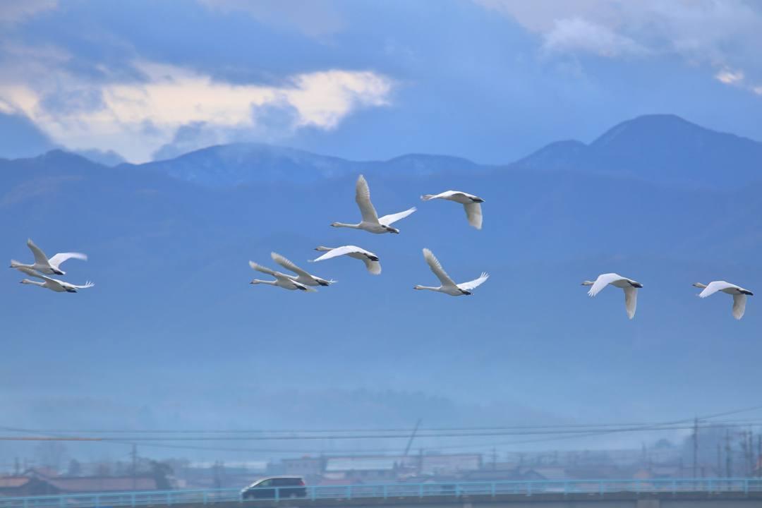 柴山潟の白鳥12/16その5_e0403850_17555234.jpg