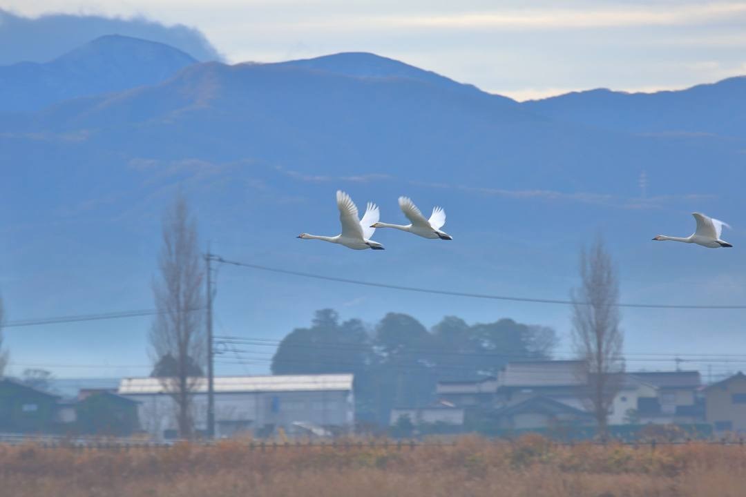 柴山潟の白鳥12/16その5_e0403850_17555266.jpg