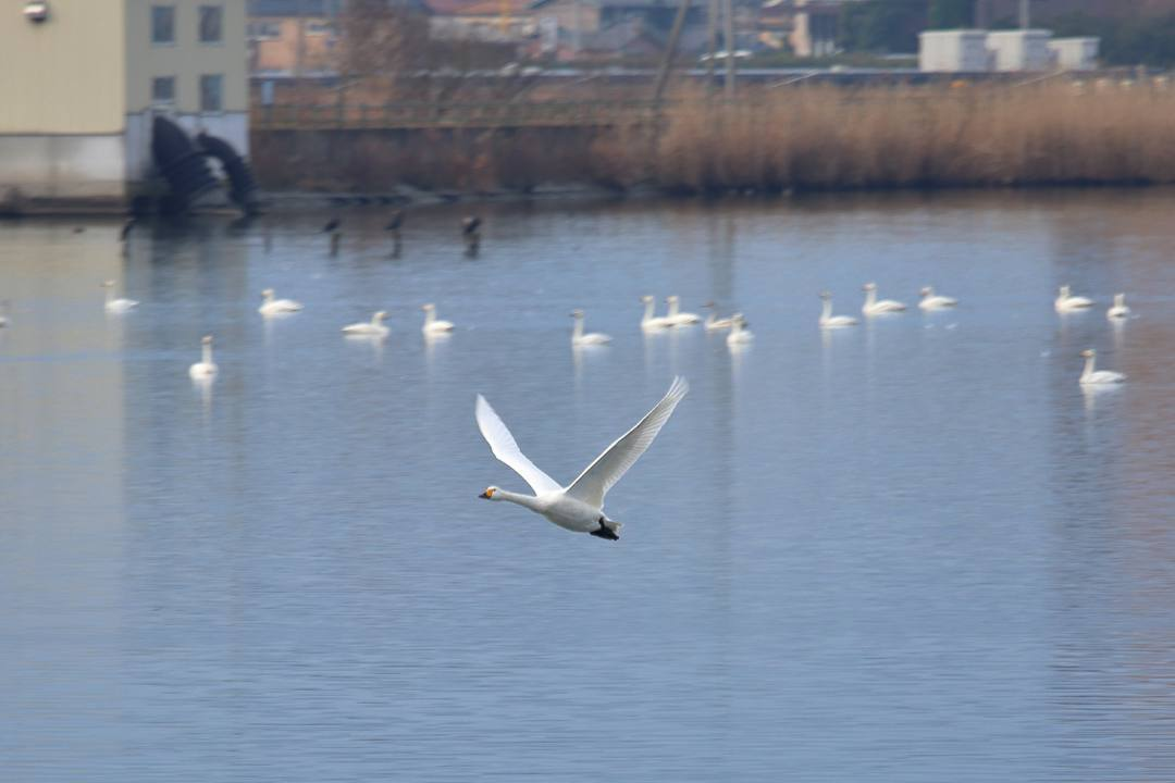 柴山潟の白鳥12/16その5_e0403850_17555282.jpg