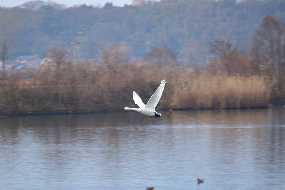 柴山潟の白鳥12/16その5_e0403850_17560249.jpg