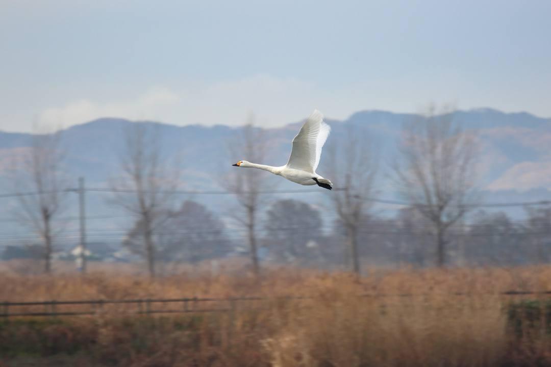 柴山潟の白鳥12/16その5_e0403850_17563704.jpg