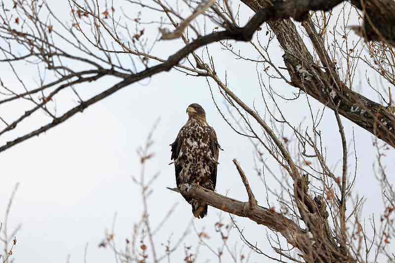 オジロワシ White-tailed Eagle_c0070654_10303156.jpg