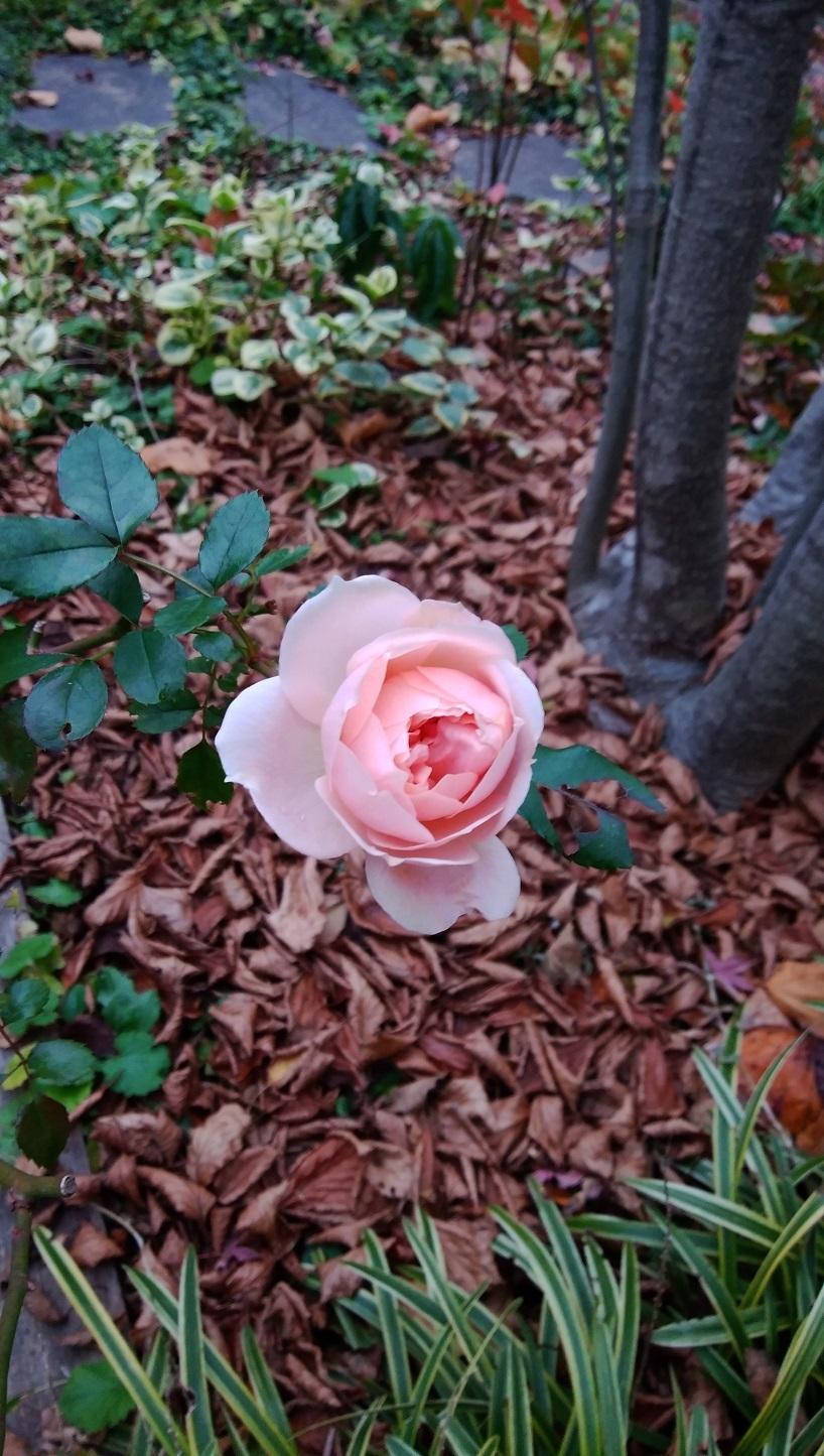 ガーデンオブローゼス ~冬至前日の薔薇~_a0107574_17070152.jpg