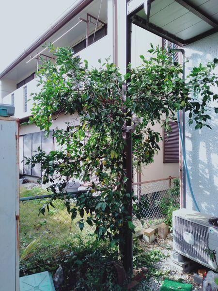 柚子の木を切った_c0162128_22091908.jpg