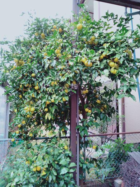 柚子の木を切った_c0162128_22091934.jpg