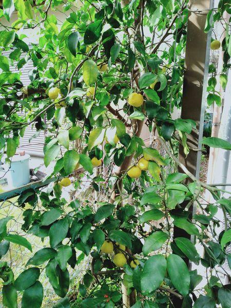 柚子の木を切った_c0162128_22092234.jpg