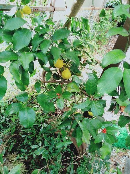 柚子の木を切った_c0162128_22092247.jpg