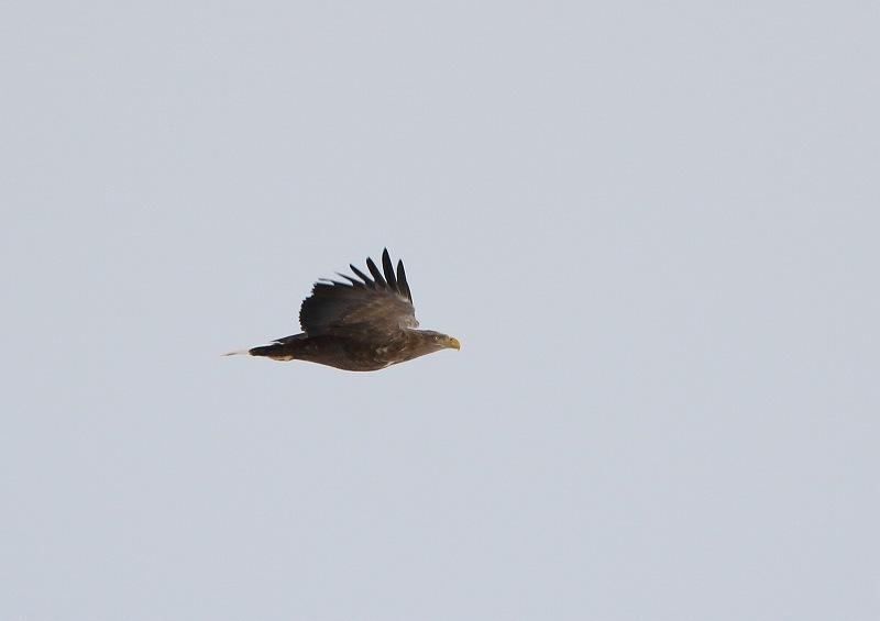 オジロワシ White-tailed Eagle_c0070654_15233955.jpg