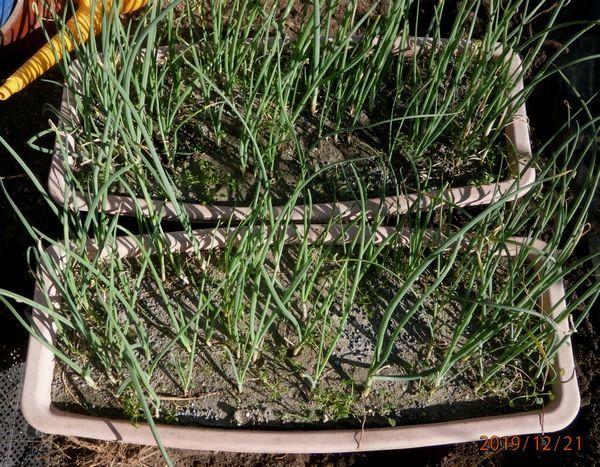 傷んだ玉葱苗の復活と植え付け_f0018078_16380732.jpg