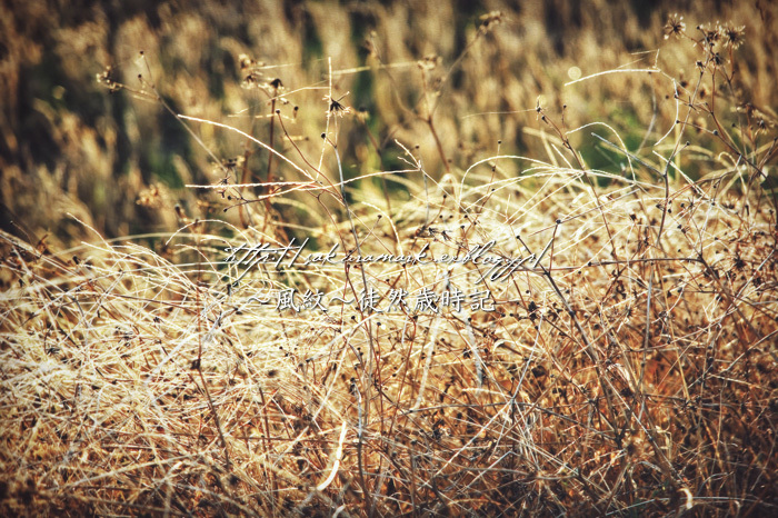 枯れ野に咲く。_f0235723_19222146.jpg