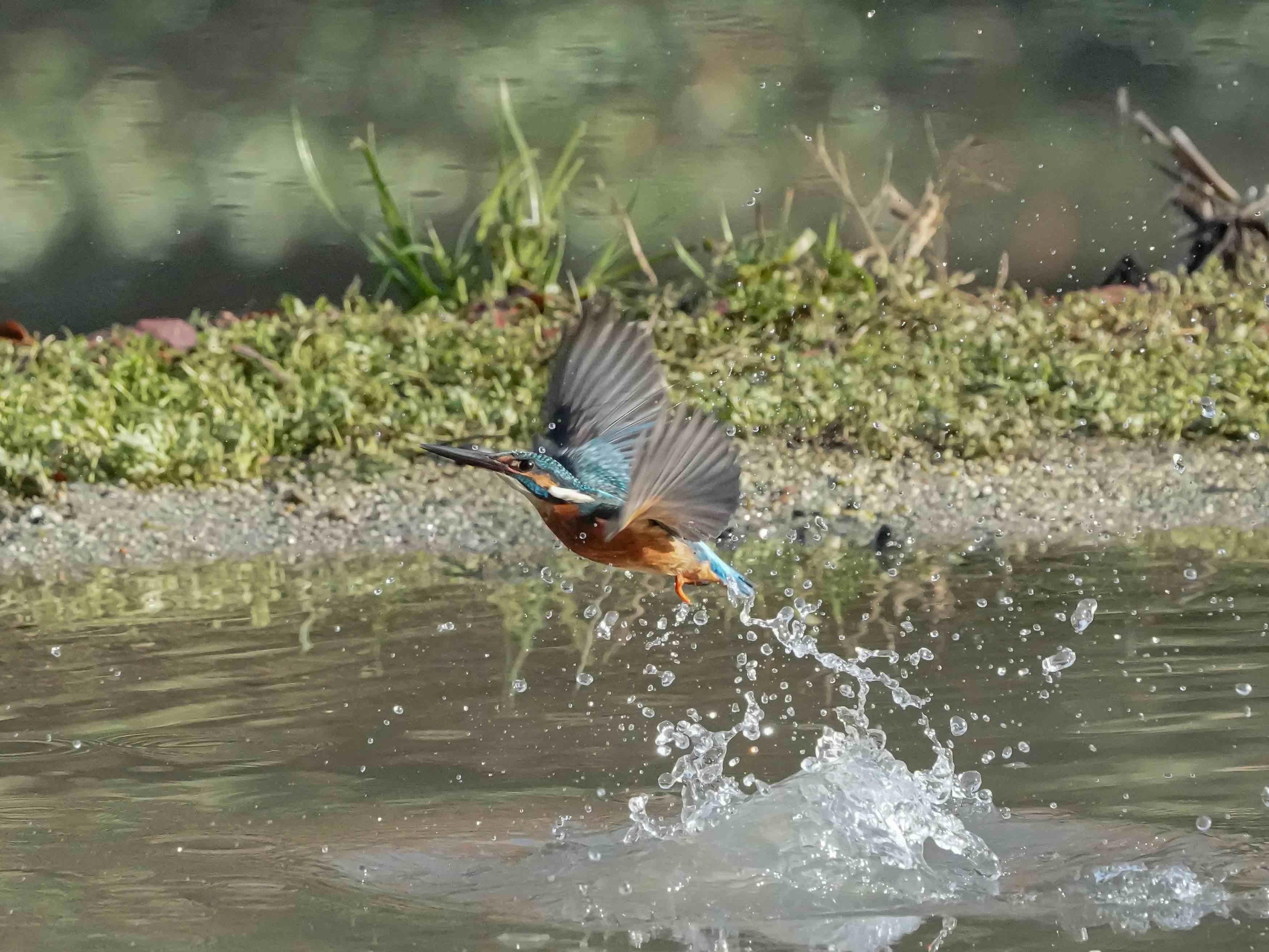 今日もカワセミの池_a0330864_17290924.jpg