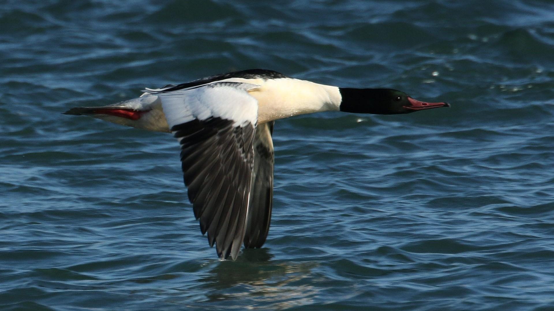 目の前で川面ぎりぎりを飛ぶカワアイサ雄_f0105570_17522539.jpg