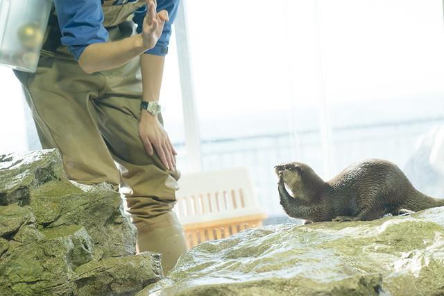 新江ノ島水族館可愛いコツメカワウソと魚達のクリスマス_b0145398_23281634.jpg