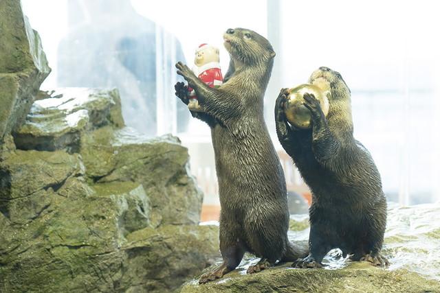新江ノ島水族館可愛いコツメカワウソと魚達のクリスマス_b0145398_23283725.jpg