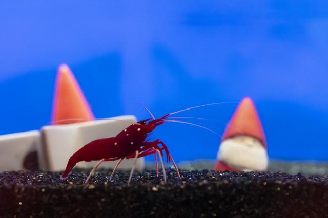 新江ノ島水族館可愛いコツメカワウソと魚達のクリスマス_b0145398_23285885.jpg