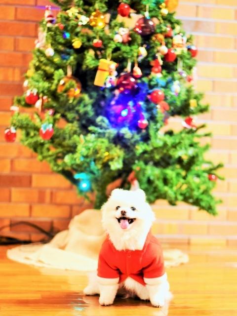 ポメラニアン@聖誕祭前夜_d0360206_00050021.jpg