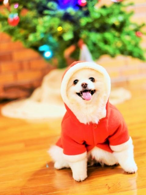 ポメラニアン@聖誕祭前夜_d0360206_00050488.jpg