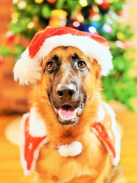 シェパード@聖誕祭前夜_d0360206_00103631.jpg