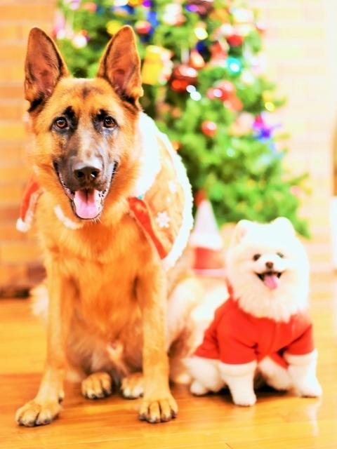 シェパード@聖誕祭前夜_d0360206_00104266.jpg