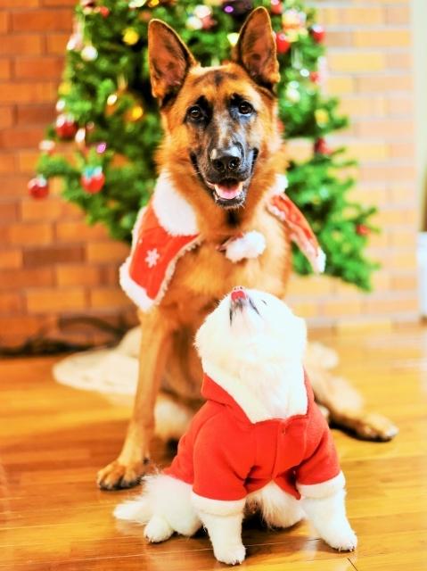 シェパード@聖誕祭前夜_d0360206_00104562.jpg