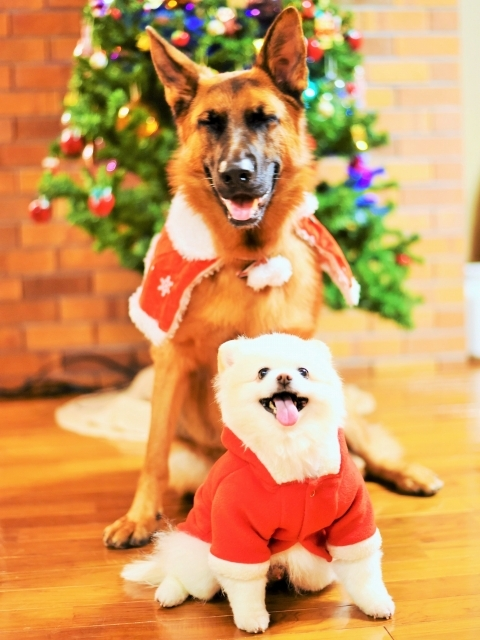 シェパード@聖誕祭前夜_d0360206_00104912.jpg