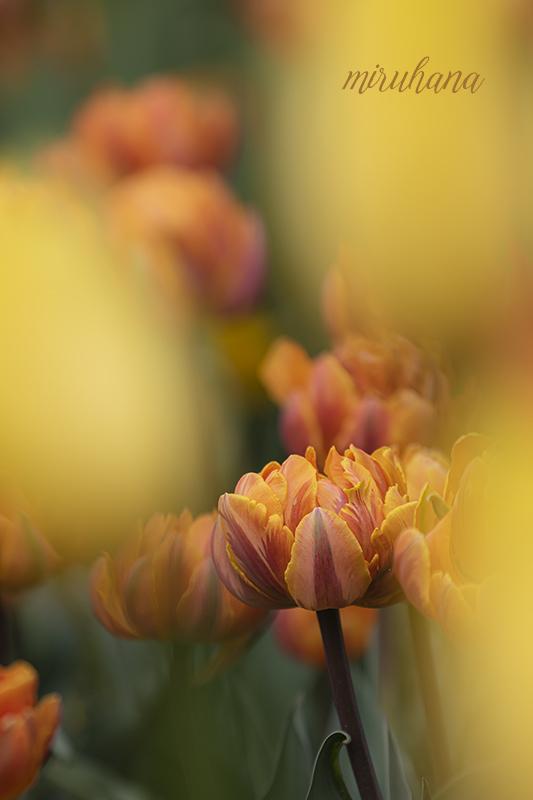 雲海から春色チューリップ。_c0037519_03533686.jpg