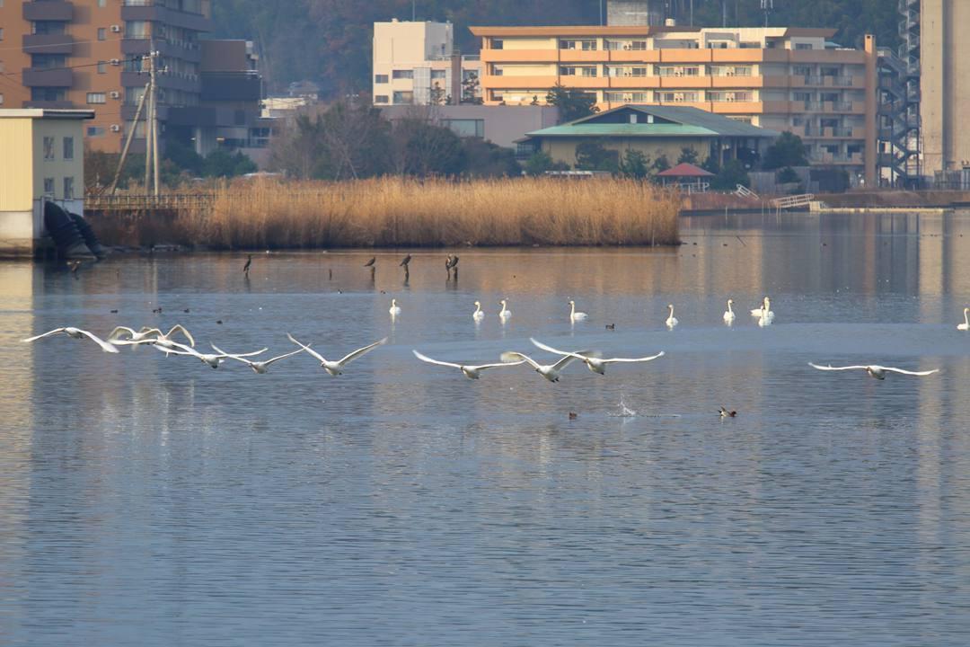 柴山潟の白鳥12/16その6_e0403850_20122206.jpg