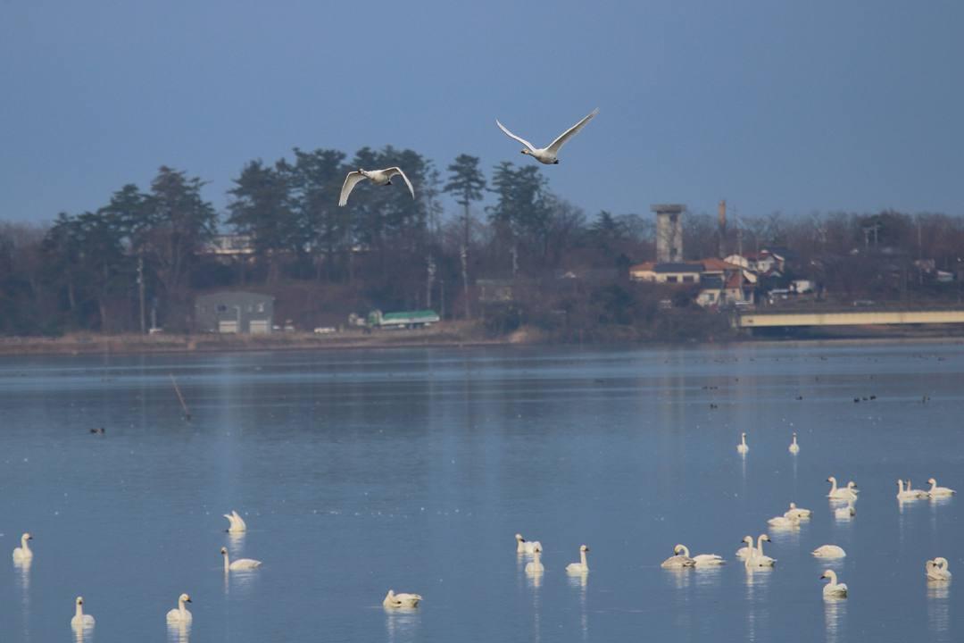 柴山潟の白鳥12/16その6_e0403850_20123112.jpg