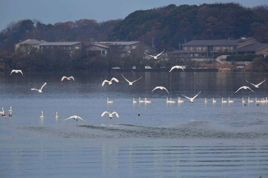 柴山潟の白鳥12/16その6_e0403850_20123193.jpg