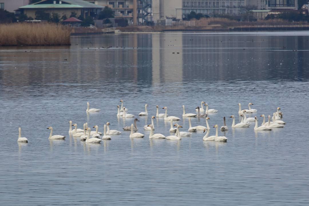柴山潟の白鳥12/16その6_e0403850_20124141.jpg