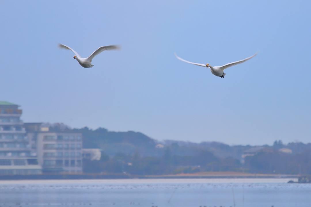 柴山潟の白鳥12/16その6_e0403850_20124164.jpg