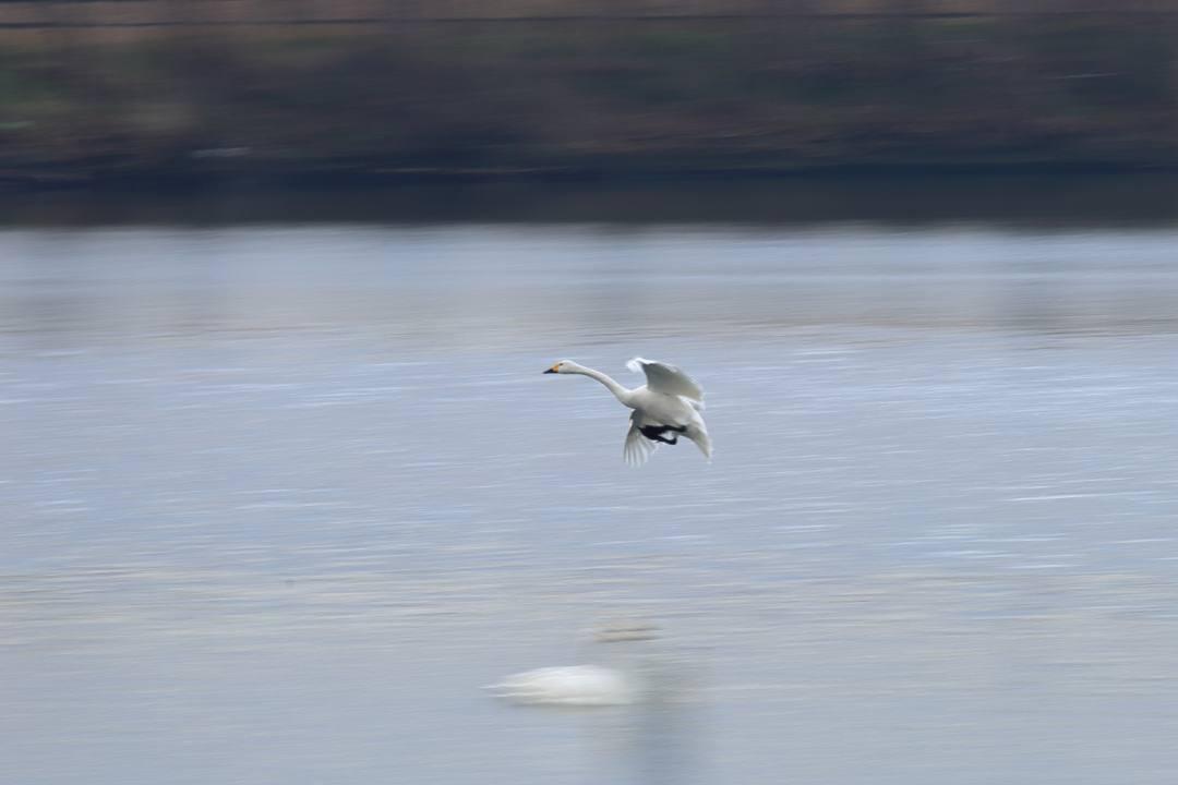 柴山潟の白鳥12/16その6_e0403850_20124193.jpg