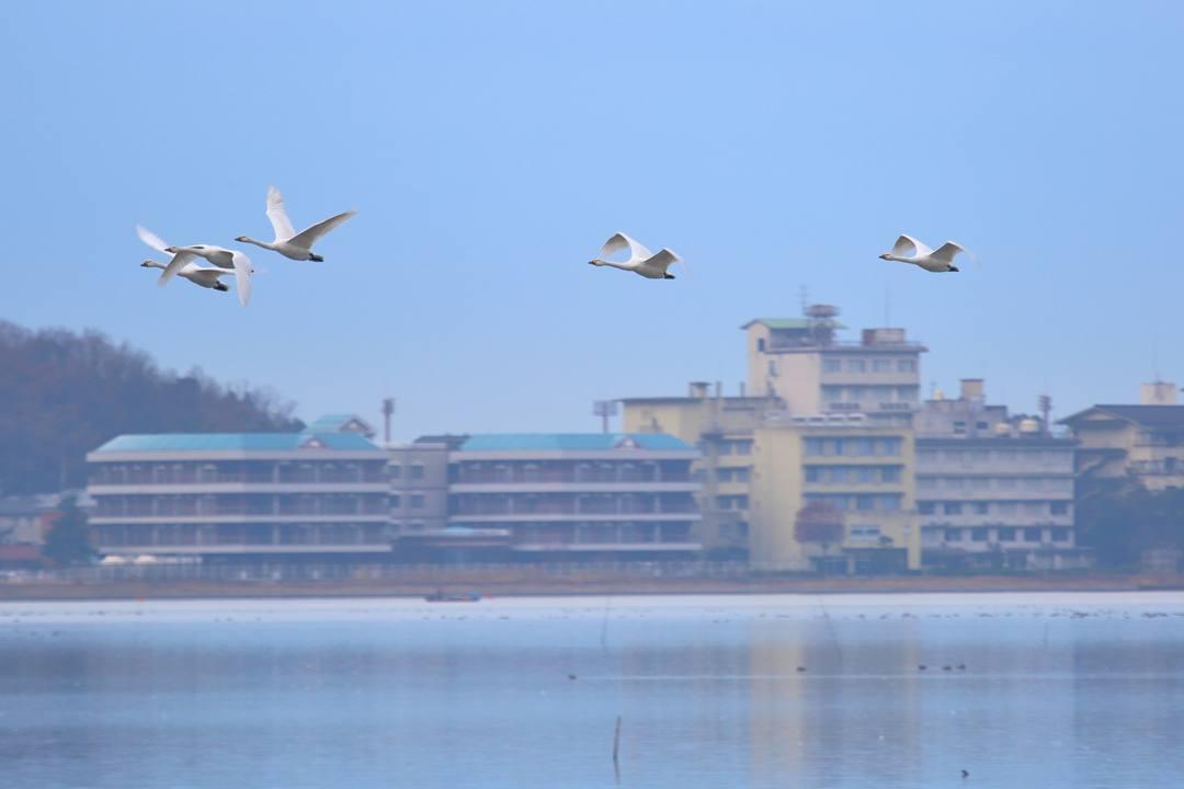 柴山潟の白鳥12/16その6_e0403850_20125098.jpg