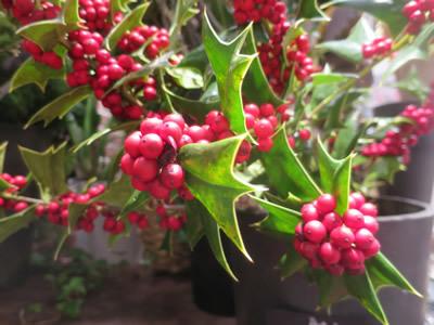 クリスマスホーリー_e0262651_07194827.jpg