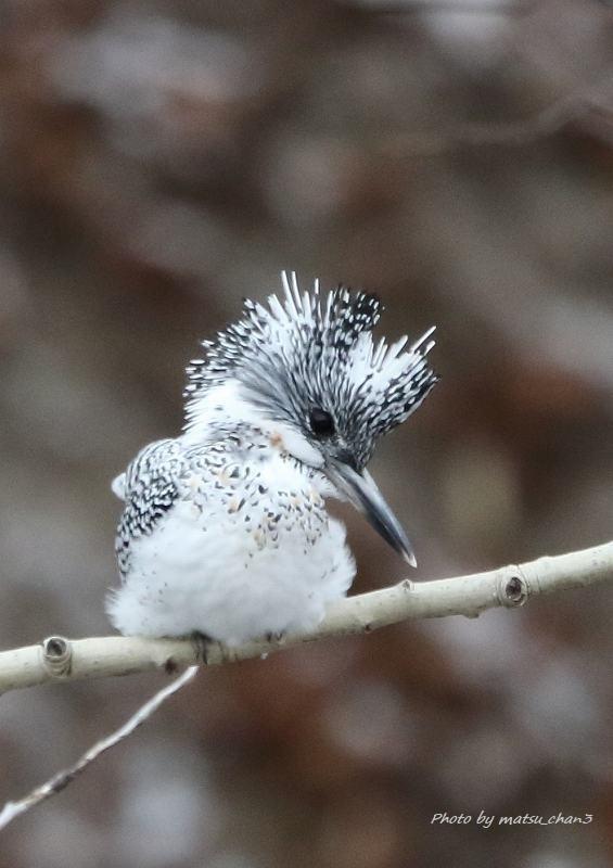 ヤマセミ Greater Pied Kingfisher_c0070654_10591668.jpg