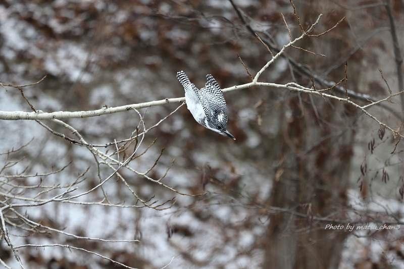 ヤマセミ Greater Pied Kingfisher_c0070654_10595124.jpg