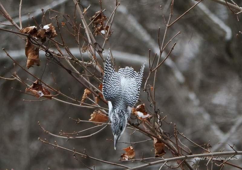 ヤマセミ Greater Pied Kingfisher_c0070654_11002686.jpg