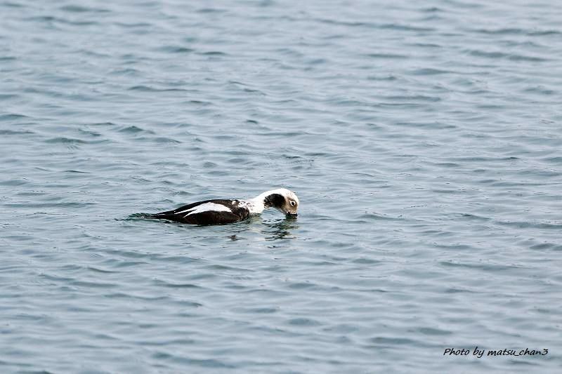 コオリガモ Long-tailed Duck_c0070654_11061585.jpg