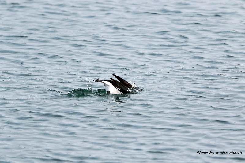 コオリガモ Long-tailed Duck_c0070654_11065177.jpg