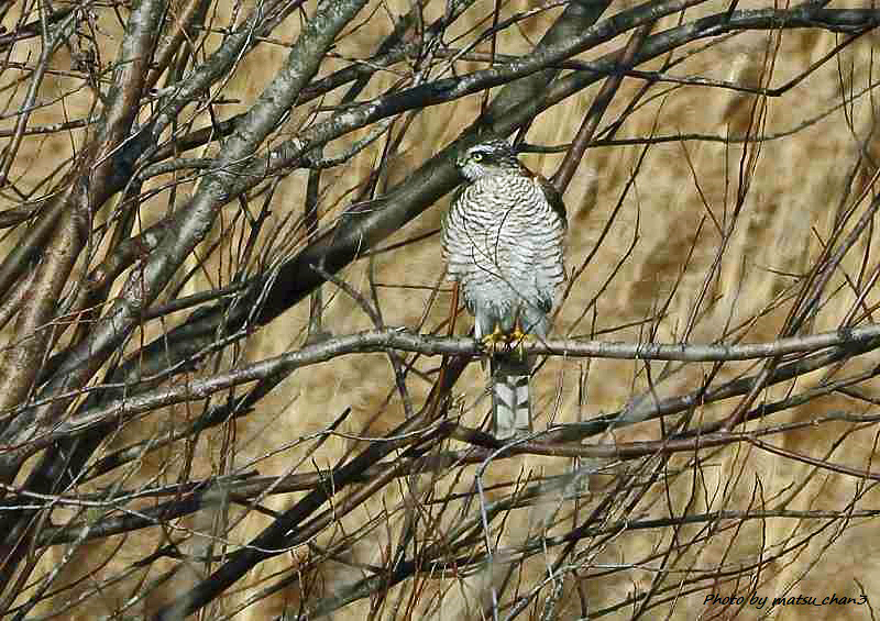 ハイタカ Sparrow hawk_c0070654_11220717.jpg