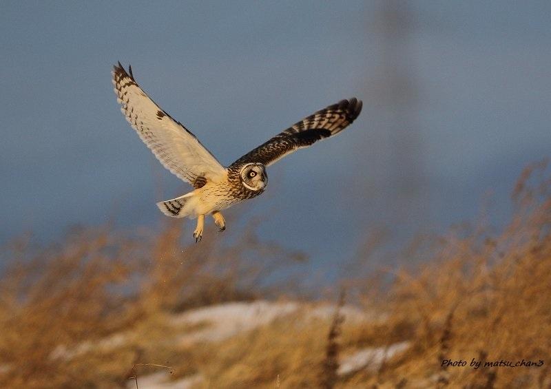 コミミズク Short -eared Owl_c0070654_11375875.jpg