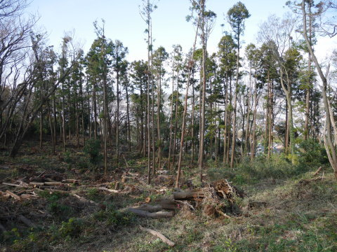 ③山桜植樹で累計475本、500本目前:12・21六国見山手入れ_c0014967_10334703.jpg